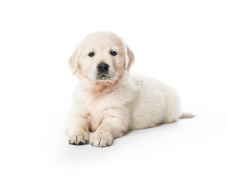 Golden retriever puppy sitting isolated 스톡 콘텐츠