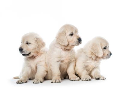 Emotional behaviour of golden retriever puppies sitting isolated