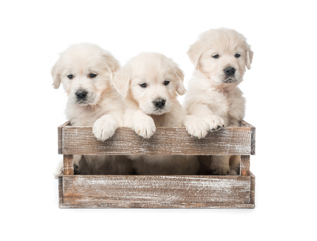 Three golden retriever puppies in basket isolated