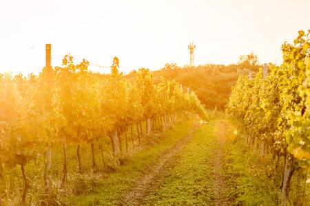 Vineyards in Moravia