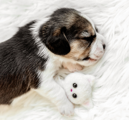 Very small pup of beagle sleeping