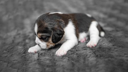 Cute puppy sleeping on veil Фото со стока