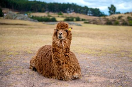 Portrait of cute brown alpaca 스톡 콘텐츠 - 124175179