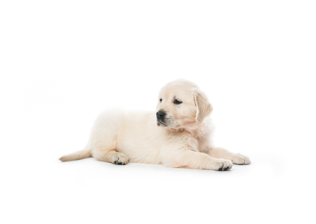 Golden retriever puppy sitting isolated Фото со стока