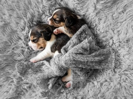 Two cute beagle puppies on carpet