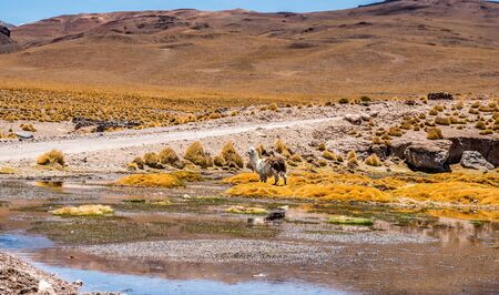Lama on the background of Lagoon landscape in Bolivia 스톡 콘텐츠