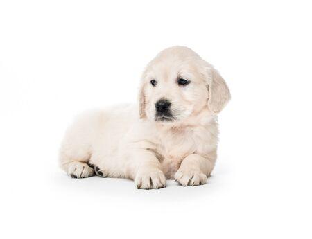Golden retriever puppy sitting isolated 스톡 콘텐츠