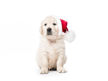 Golden retriever puppy with Santa hat isolated