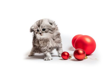 Small furry Scottish kitten with red balls isolated on whute background Banco de Imagens