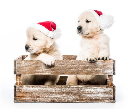 Four golden retriever puppies in basket isolated Imagens