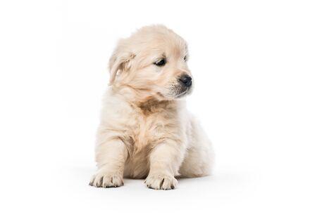 Golden retriever puppy sitting isolated Stockfoto