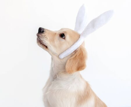 Retriever dog in bunny ears