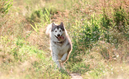 Alaskan malamute running on sunny field Stock fotó