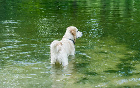 Beautiful dog standing in river 스톡 콘텐츠 - 152268924