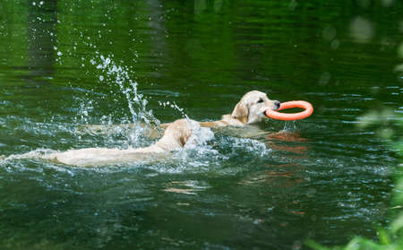 Beautiful golden retrievers swimming in river 스톡 콘텐츠 - 152268925