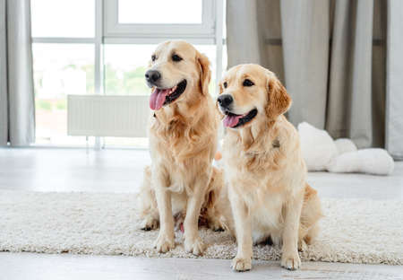 Pair of golden retriever at home 스톡 콘텐츠