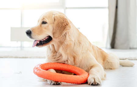 Golden retriever playing with ring toy 스톡 콘텐츠