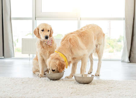 Golden retriever eating from another dogs bowl 스톡 콘텐츠
