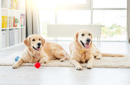 Golden retrievers lying next to balls 스톡 콘텐츠 - 153444334