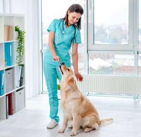 Golden retriever dog examination in veterinary clinic