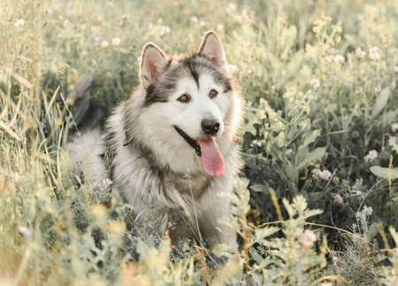 Alaskan malamute sitting sideways in grass
