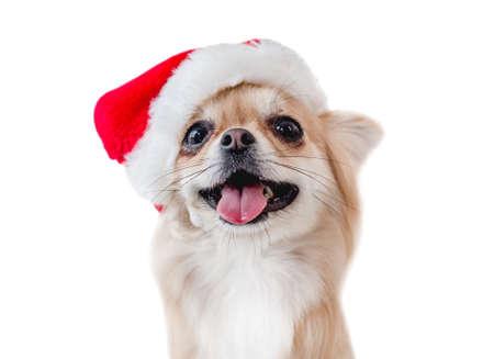 Chihuahua dog in Santa hat