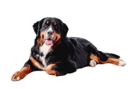 Bernese mountain dog lies
