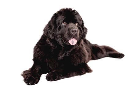 Newfoundland dog lying on white