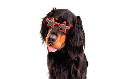 Scottish setter dog wearing sunglasses 스톡 콘텐츠