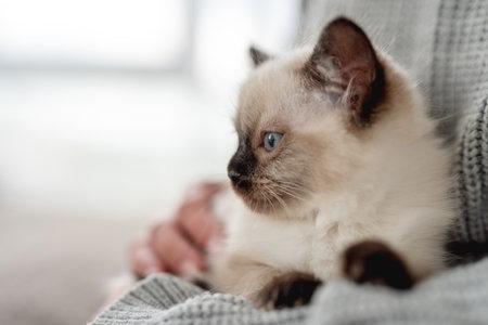 Ragdoll kitten in the hands of owner