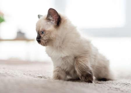 Kitten Ragdoll lying in the bed 스톡 콘텐츠