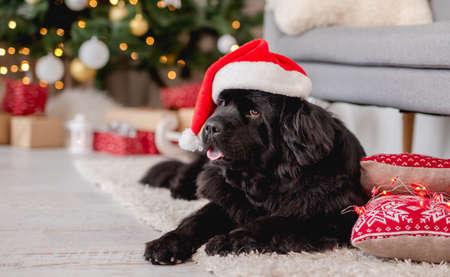Newfoundland dog in santa hat at home Archivio Fotografico