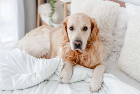 Golden retriever dog in the bed