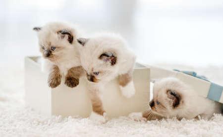 Ragdoll kittens in a gift box Archivio Fotografico