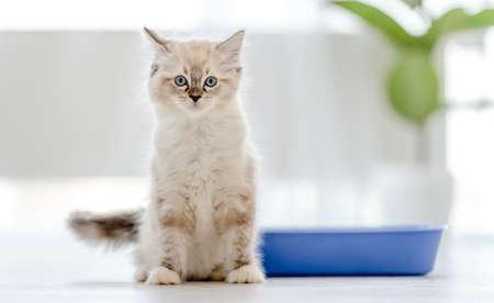 Ragdoll cat in light room Archivio Fotografico