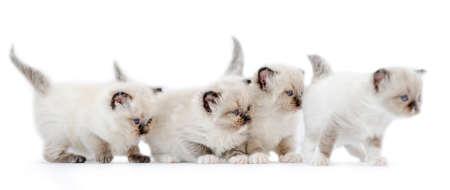 Ragdoll kittens isolated on white background Archivio Fotografico