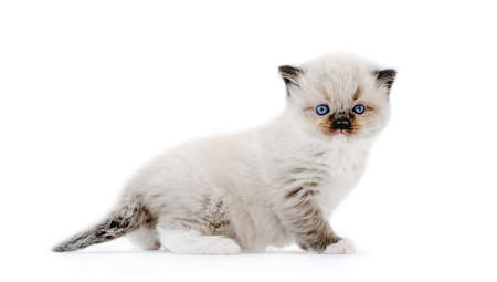Ragdoll kitten isolated on white background Archivio Fotografico