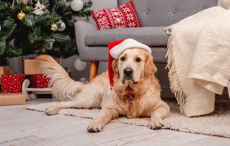Golden retriever dog in new year hat