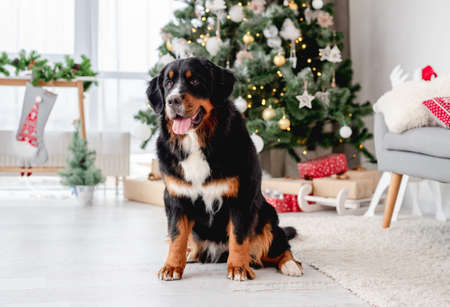 Bernese mountain dog sitting under christmas tree Banque d'images