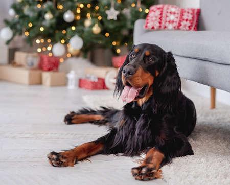 Scottish setter dog with illuminated christmas tree