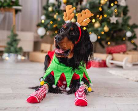 Dog near christmas tree at home Banque d'images