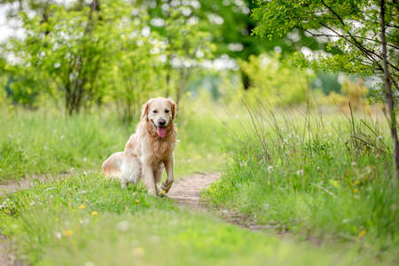 Golden retriever dog outdoors in summer Banque d'images