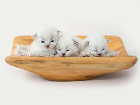 Ragdoll kittens isolated on white background Banque d'images
