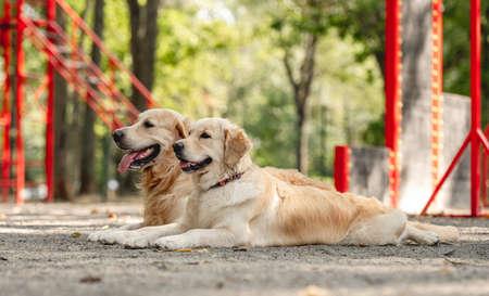 Golden retriever dogs outdoors Banque d'images