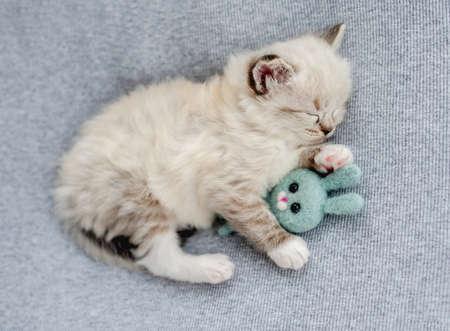 Ragdoll kitten photos newborn style Banque d'images