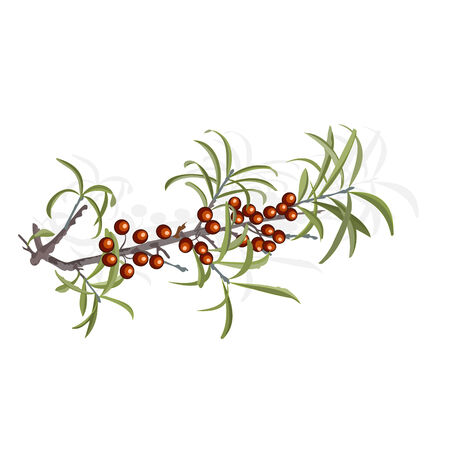 buckthorn: Buckthorn berries and foliage illustration without gradients Illustration