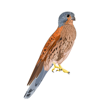 carnivore: Kestrel carnivore prey predatory bird vector illustration