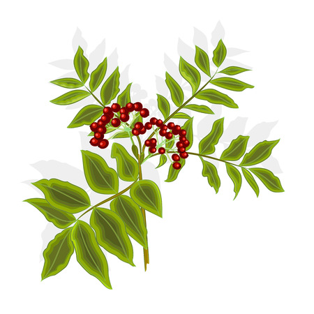 ashberry: Twig rowan berry with leaves and berries vector illustration without gradients