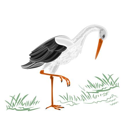 ornithology: White Stork vector illustration without gradients