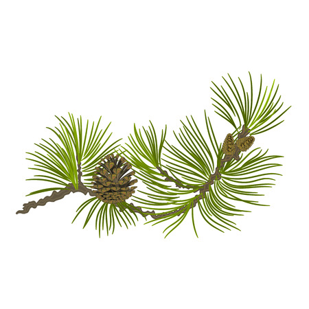 Branch of Christmas tree Pine branch whit pinecones vector illustration Çizim